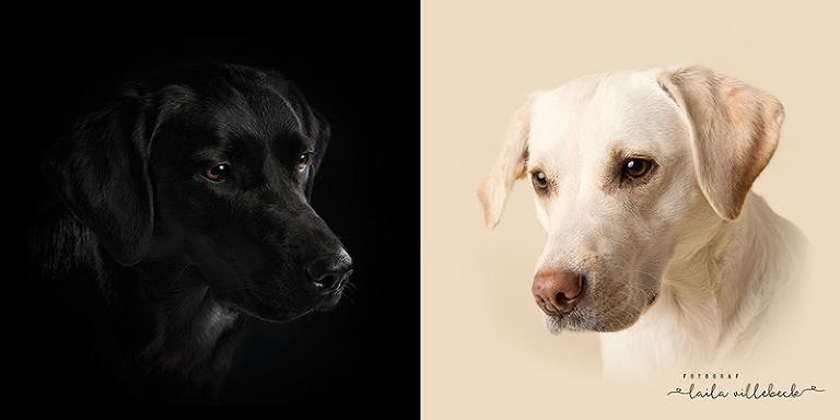 En jämförelse av en bild på svart labrador på svart bakgrund och en gul labrador på cremefärgad bakgrund