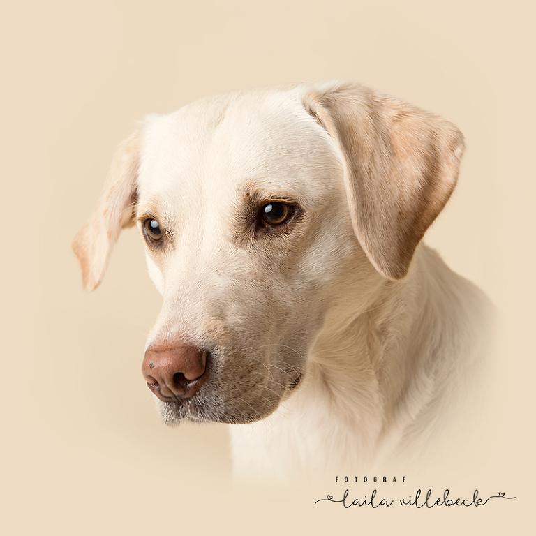 Hundporträtt på Edison, en gul labrador på en studiobakgrund i samma ton